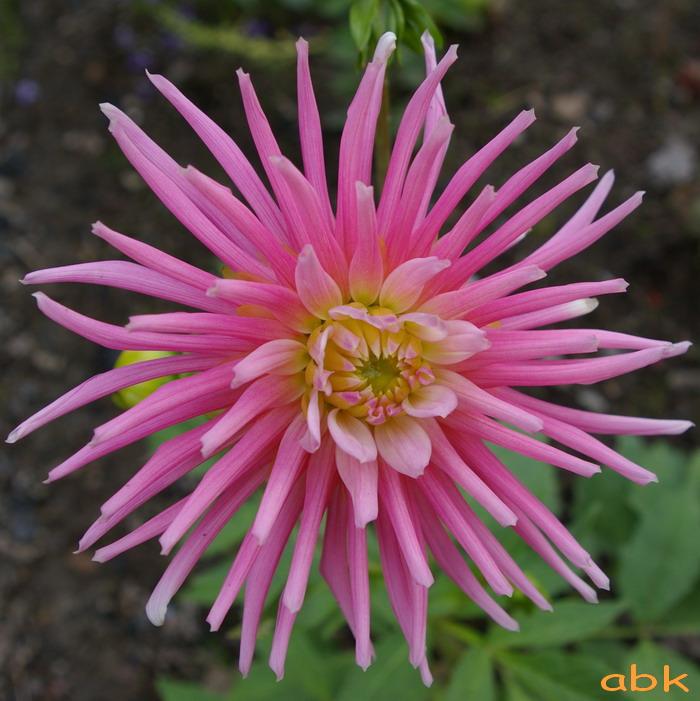 Fleurs Dahlia10