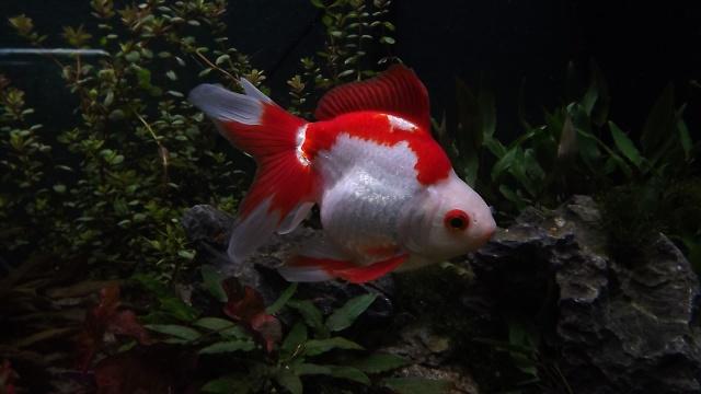 osaka 260 poisson japonais Dscf4210