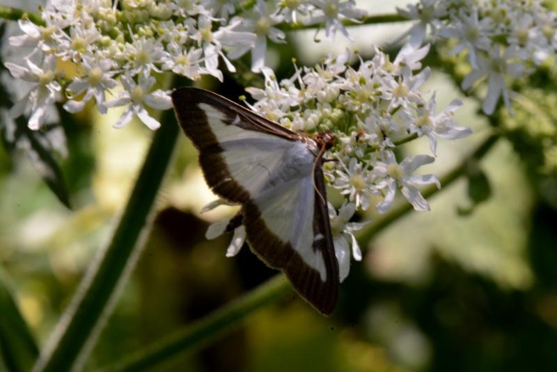 aide identification papillon Pap10