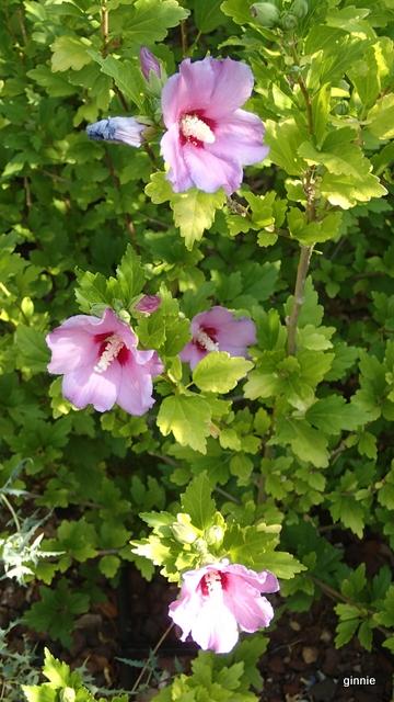 Floraisons du mois d'Août - Page 10 P7222216