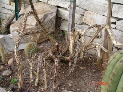 Corryocactus melanotrichus Dsc00110