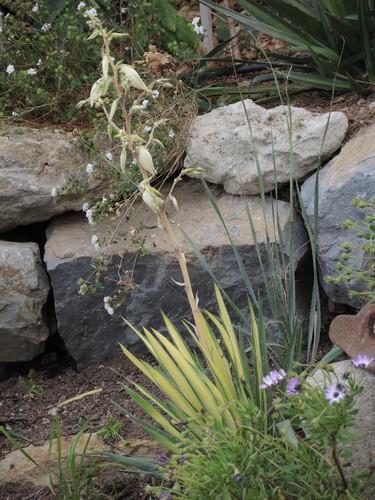 Yucca filamentosa 'Golden Sword' Dscn4510