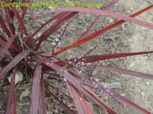 Cordyline 'Red Fountain' Dscn4511