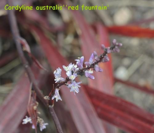 Cordyline 'Red Fountain' Dscn4512
