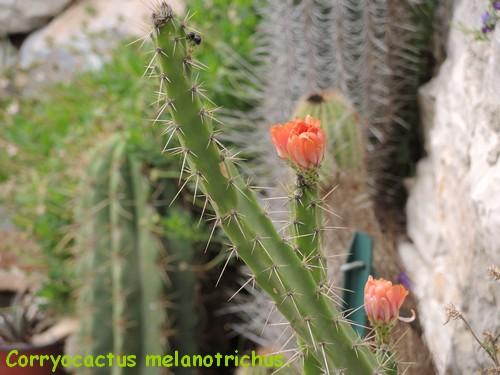 Corryocactus melanotrichus Dscn4615