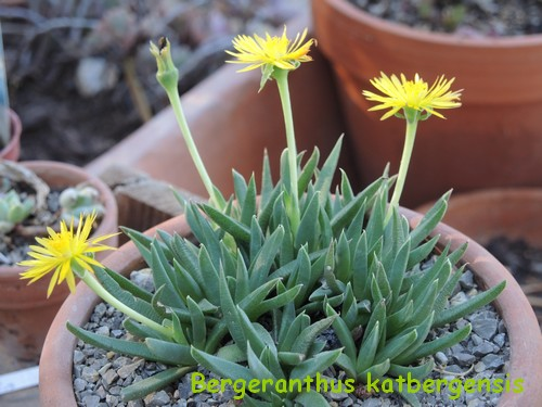Carruanthus caninus = Bergeranthus caninum (ringens) - Page 3 Dscn4724