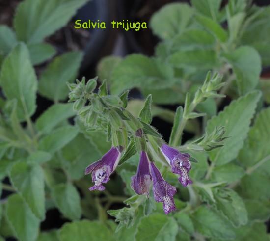 Salvia trijuga  Dscn4820