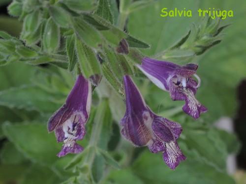 Salvia trijuga  Dscn4821