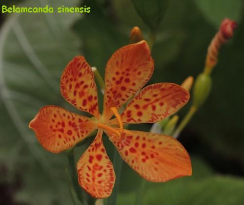 butinages du jour à l'ombre de nos plantes  - Page 3 Dscn4913