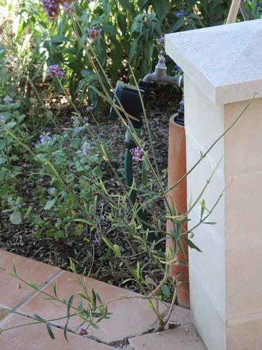 Verbena bonariensis - verveine de Buenos-Aires - Page 2 Dscn4914