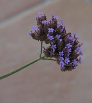 Verbena bonariensis - verveine de Buenos-Aires - Page 2 Dscn4916