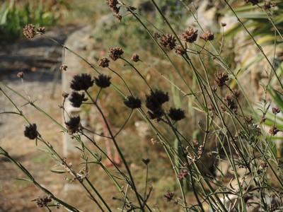 Verbena bonariensis - verveine de Buenos-Aires - Page 2 Dscn4917