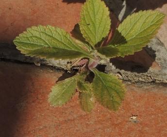 Verbena bonariensis - verveine de Buenos-Aires - Page 2 Dscn4918