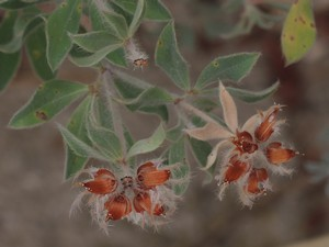 Dorycnium hirsutum - bonjeanie hirsute Dscn4923