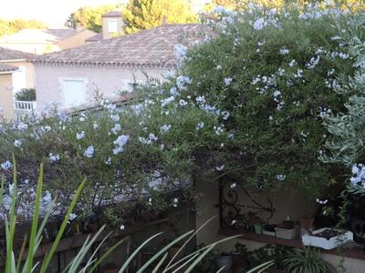 Solanum jasminoides - faux-jasmin - Page 2 Dscn5010