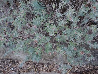 Dorycnium hirsutum - bonjeanie hirsute Dscn5012