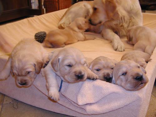 7 chiots Golden cherchent à être adoptés ! 77203110