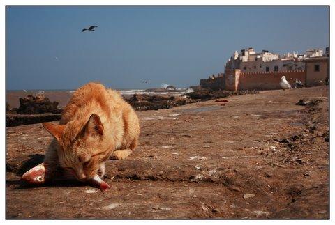 Les Chats d'Essouira Cat210