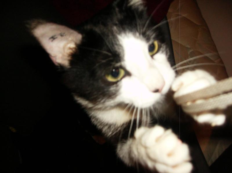 HORUS, mêle type Européen noir et blanc né en juillet 2012 Hpim3616