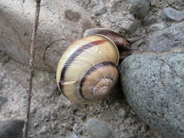 Caucasotachea calligera (Dubois de Montrereux, 1840) Dscn2110