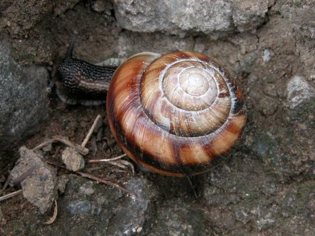 Caucasotachea calligera (Dubois de Montrereux, 1840) Dscn2111