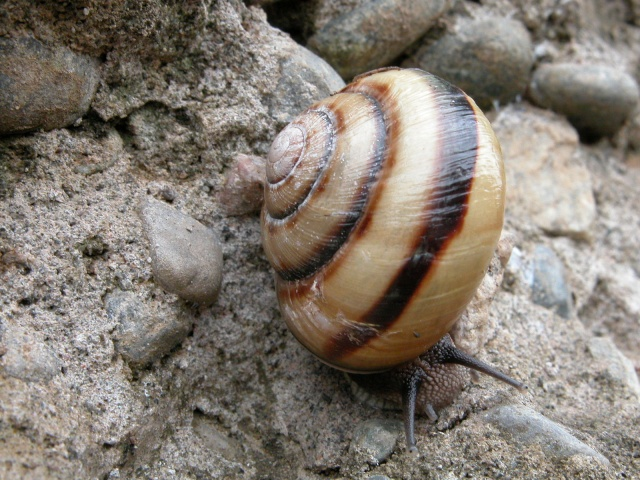 Caucasotachea calligera (Dubois de Montrereux, 1840) Dscn2112