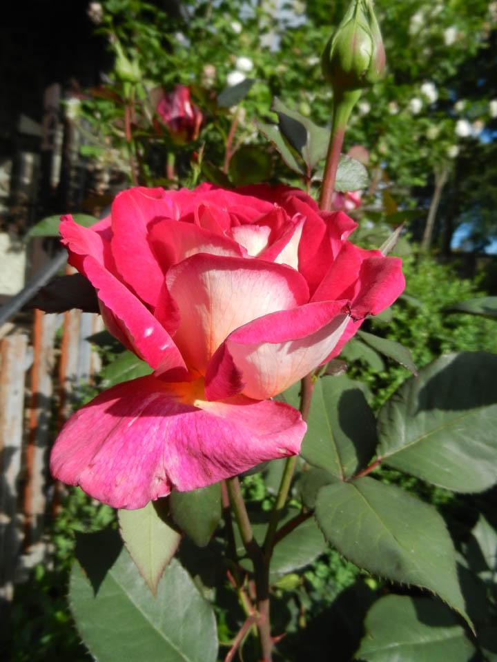 Evolution de nos jardins !!! Dscn5811