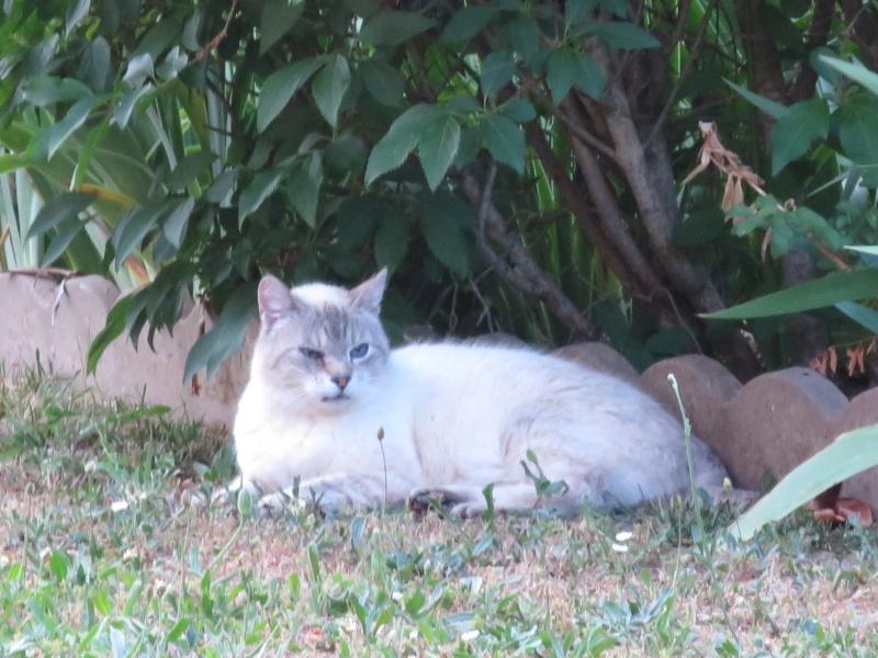 Trouvé chat(te) croisé siamois à Tournefeuille Img_0720