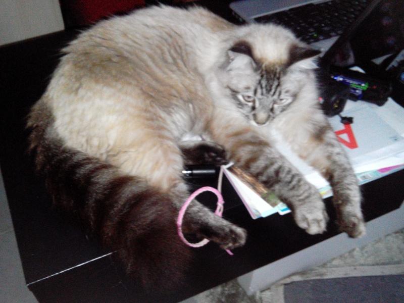Perdu chat croisé birman Colomiers - Garroussal Img_2011