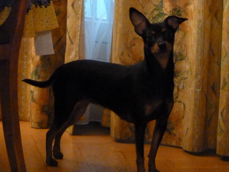 A adopter,Mikie pinscher 13 mois P1000210