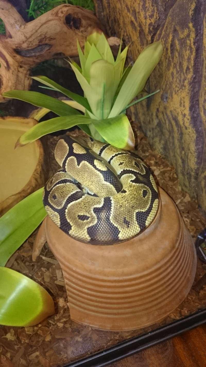 mon python regius Dsc_0019