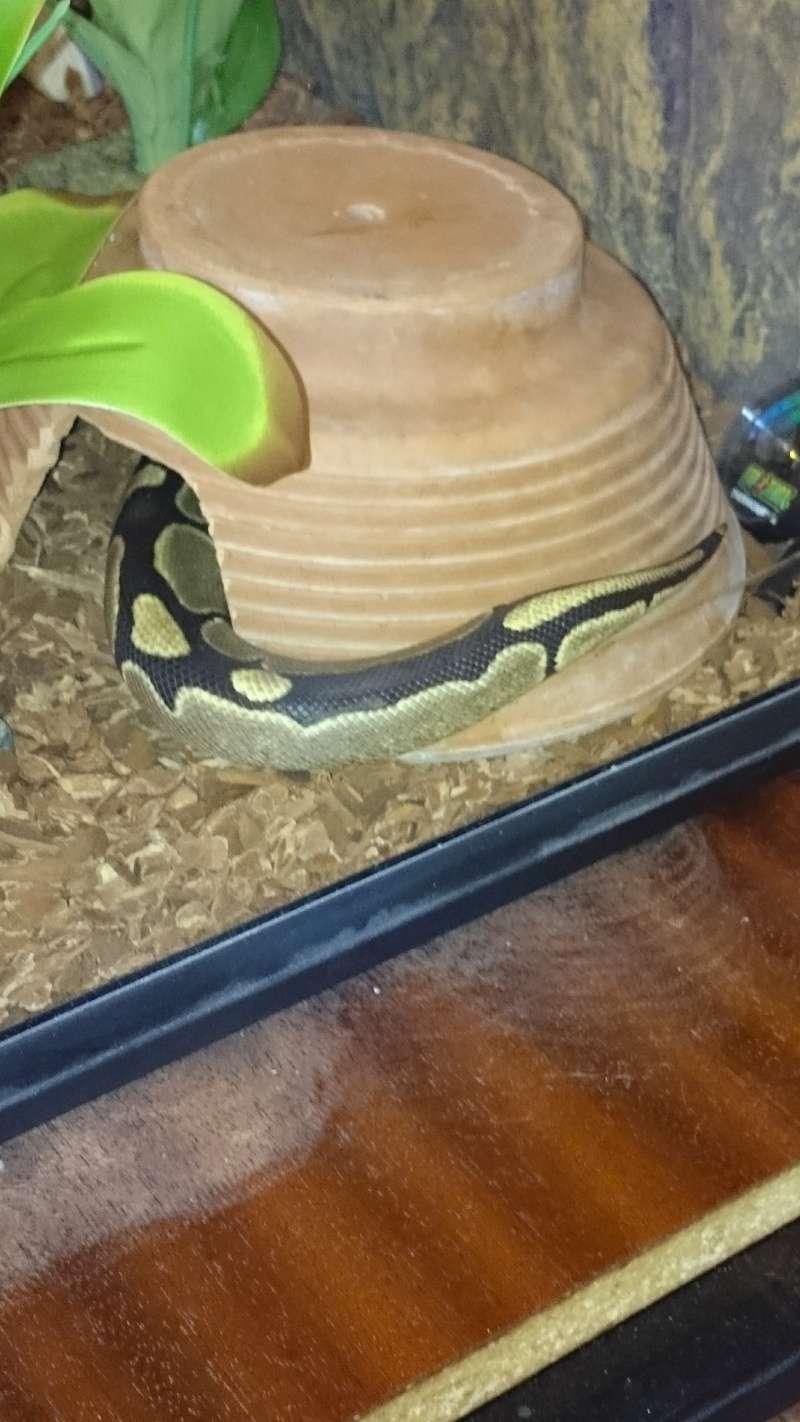 mon python regius Dsc_0022