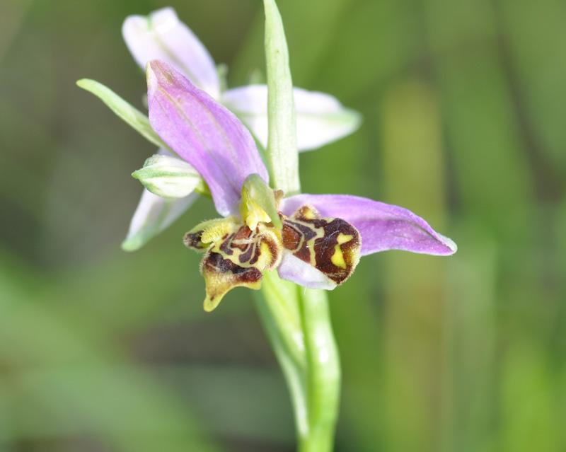 Ophrys apifera Dsc_0410