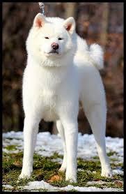 Les chiens de vos rêves en photos! Akita10