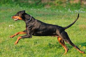 Les chiens de vos rêves en photos! Dob10