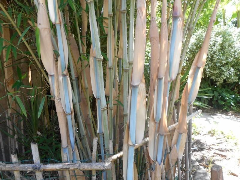 Fargesia papyrifera,un bambou bien bleu.... Dscn1325