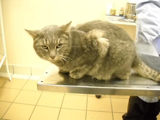 Trouvée à Colomiers chatte grise tigrée - 12/09 Dscn0210