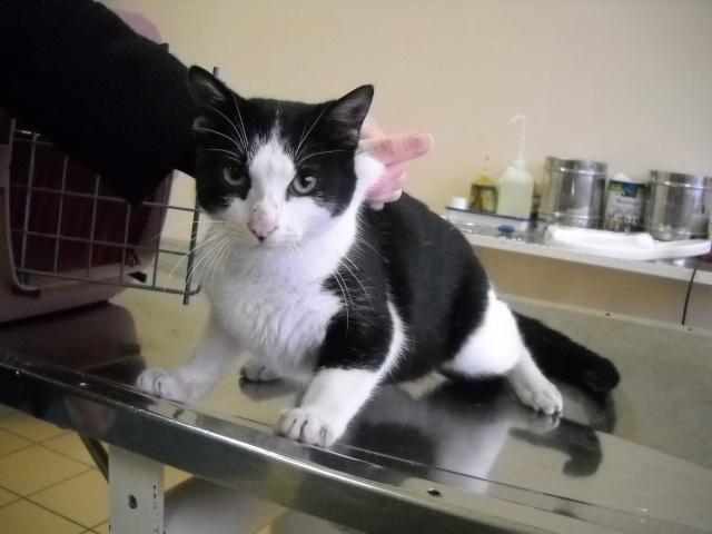 Trouvée à Colomiers jeune chatte noire et blanche - 24/12/09 Dscn0310