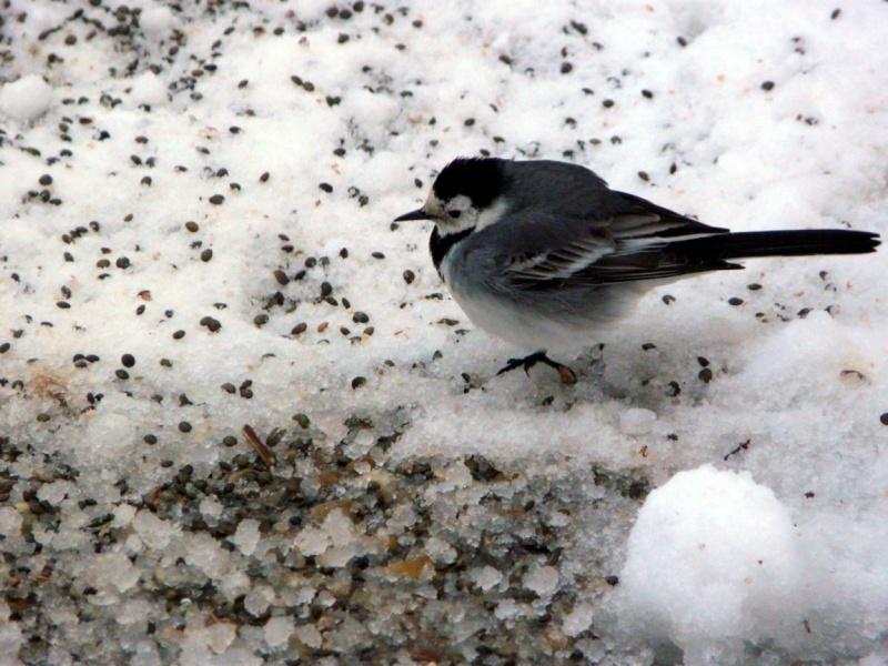 neige dans le 04 Oiseau10