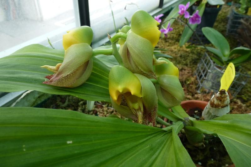 Catasetum macrocarpum ou bicallosum  P1130412