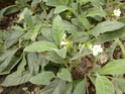 2 acanthaceae en fleurs  P1120811