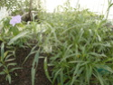 2 acanthaceae en fleurs  P1120814