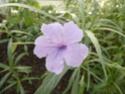 2 acanthaceae en fleurs  P1120815