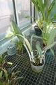 Rhyncolaelia ex : Brassavola digbyana  P1120826