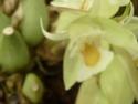 Chelonistele sulphurea  P1130018