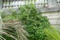 3 jolies plantes grimpantes ou pas des hémicycles  P1130023