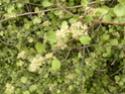 3 jolies plantes grimpantes ou pas des hémicycles  P1130027