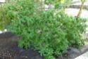 Plante  sans nom des régions australes  P1130314