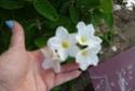Plante  sans nom des régions australes  P1130315