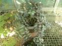 Pellionia daveauana  P1130322
